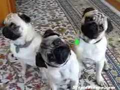 Three Confused Pugs @ Yahoo! Video