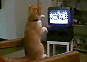 テレビのボクシング中継を真似するニャンコ