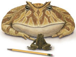 A drawing of a Beelzebufo ampinga facing off against the largest known living Malagasy frog, Mantydactylus ampinga. (AP Photo/Illustration by Luci Betti-Nash, Dan Klores Communications)