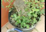 Bonsai, arboles recuperados, alcornoques y cerezo silvestre. @ Yahoo! Vídeo